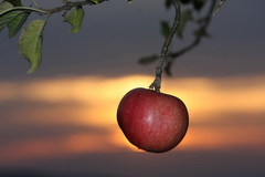Roter Apfel am Abend