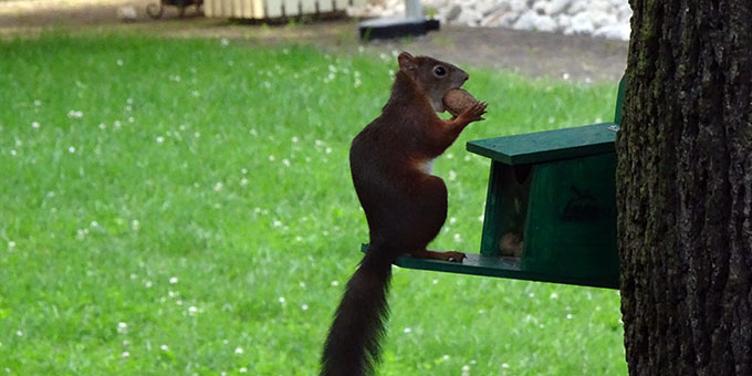 Am Futterplatz lassen sich die Eichhörnchen gut beobachten (Foto: A.M.Brück)
